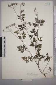 Chaerophyllum temulum herbarium specimen from Horn's Cross, Greenhithe, VC16 West Kent in 1927 by Mr Isaac A Helsby.