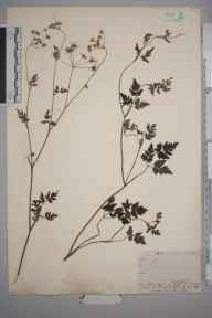 Chaerophyllum temulum herbarium specimen from Steephill, VC10 Isle of Wight in 1838 by A Hamburgh.