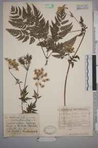 Chaerophyllum aureum herbarium specimen from Callander, VC87 West Perthshire in 1916 by Rev Rowland John Burdon.
