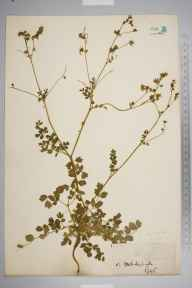 Thalictrum minus herbarium specimen from Mildenhall, VC26 West Suffolk by Miss  Butcher.