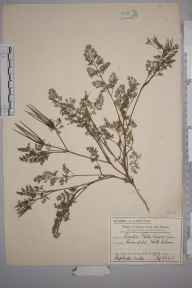 Scandix pecten-veneris herbarium specimen from North Cheam, VC17 Surrey in 1912 by Mr Charles Edward Britton.