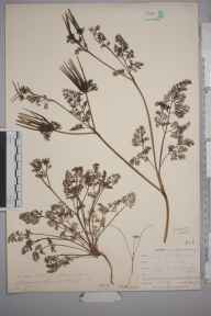 Scandix pecten-veneris herbarium specimen from Connor Downs, VC1 West Cornwall in 1901 by Mr Allan Octavian Hume.