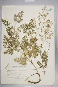 Thalictrum minus herbarium specimen from Ham Gravel Pits, VC17 Surrey in 1964 by Peter Charles Holland.
