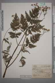 Anthriscus sylvestris herbarium specimen from Market Harborough, VC55 Leicestershire in 1905 by Charles Smith Nicholson.