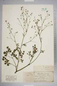Thalictrum minus herbarium specimen from North Queensferry, VC85 Fifeshire in 1870 by Mr John C Hutcheson.