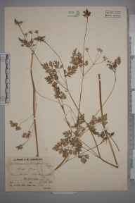 Anthriscus cerefolium herbarium specimen from Halesworth, VC25 East Suffolk in 1939 by Mr Job Edward Lousley.