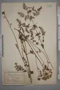 Seseli libanotis herbarium specimen from Cherry Hinton, VC29 Cambridgeshire in 1925 by Mr Albert John Crosfield.