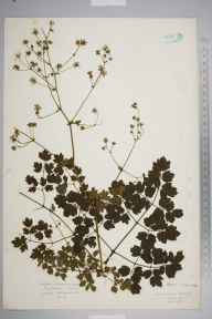 Thalictrum minus herbarium specimen from Loch Tay, VC88 Mid Perthshire in 1927 by Mr Isaac A Helsby.