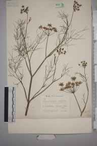 Foeniculum vulgare herbarium specimen from Chiswick, VC21 Middlesex in 1936 by Edward Benedict Bangerter.