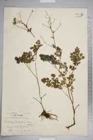 Thalictrum minus herbarium specimen from Berry Head, VC3 South Devon in 1936 by Mr Patrick Martin Hall.