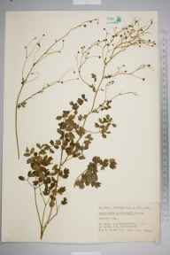Thalictrum minus herbarium specimen from Norfolk, Norfolk in 1820.