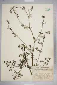 Thalictrum minus herbarium specimen from East Kennack, VC1 West Cornwall in 1929 by Mr Job Edward Lousley.