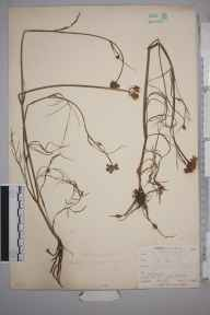 Oenanthe pimpinelloides herbarium specimen from Niton, VC10 Isle of Wight in 1898 by Mr Allan Octavian Hume.