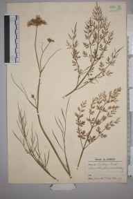 Oenanthe pimpinelloides herbarium specimen from Putney Heath, VC17 Surrey in 1937 by Charles Avery.
