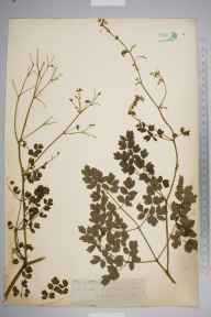 Thalictrum minus herbarium specimen from Castleton, VC57 Derbyshire in 1846.