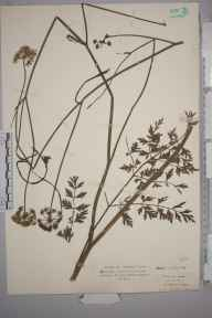 Oenanthe pimpinelloides herbarium specimen from Saint Saviour's Jersey, VC113 Channel Islands in 1927 by .