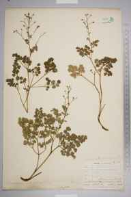 Thalictrum minus herbarium specimen from Great Orme's Head, VC49 Caernarvonshire in 1905 by Mr Allan Octavian Hume.