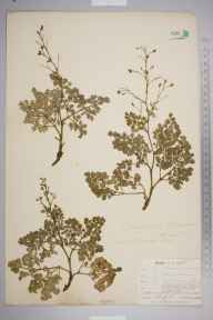 Thalictrum minus herbarium specimen from Great Orme, VC49 Caernarvonshire in 1905 by Mr Allan Octavian Hume.
