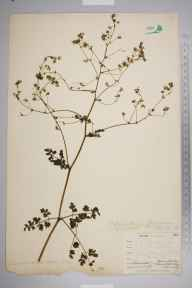Thalictrum minus herbarium specimen from Kennack valley, VC1 West Cornwall in 1899 by Mr Allan Octavian Hume.