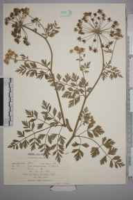 Oenanthe crocata herbarium specimen from Pett, VC14 East Sussex in 1960 by Peter Charles Holland.