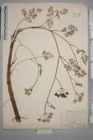 Oenanthe aquatica herbarium specimen from Eastbourne, VC14 East Sussex in 1907 by Mr Allan Octavian Hume.