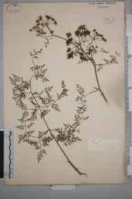 Oenanthe aquatica herbarium specimen from Crowland, VC53 South Lincolnshire in 1883.