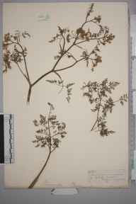 Oenanthe aquatica herbarium specimen from Southover, VC14 East Sussex in 1847 by Joseph Woods.