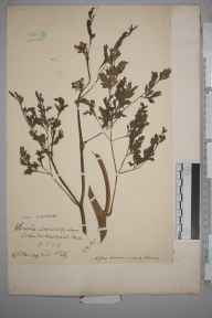 Oenanthe fluviatilis herbarium specimen from Harefield, VC21 Middlesex in 1909 by Charles Baylis Green.