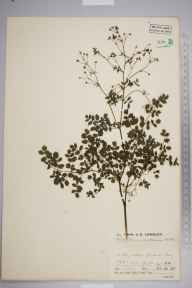 Thalictrum minus subsp. montanum herbarium specimen from Gordale Scar, VC64 Mid-west Yorkshire in 1937 by Mr Job Edward Lousley.