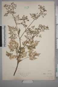 Aethusa cynapium herbarium specimen from Staines, VC21 Middlesex in 1936 by Mr Isaac A Helsby.