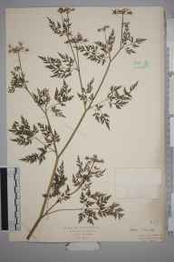Aethusa cynapium herbarium specimen from Oxhey, VC20 Hertfordshire in 1927 by Mr Isaac A Helsby.