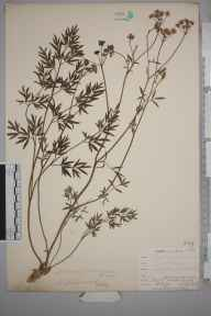 Silaum silaus herbarium specimen from Bromley Common, VC16 West Kent in 1902 by William Henry Griffin.