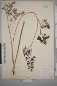 Silaum silaus herbarium specimen from Bromley, VC16 West Kent in 1902 by William Henry Griffin.