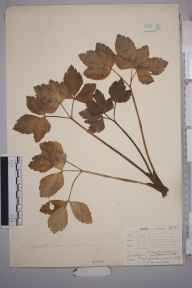 Ligusticum scoticum herbarium specimen from Lossiemouth, VC95 Moray in 1886 by Mr Henry Groves.