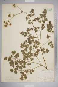 Thalictrum minus herbarium specimen from Wynch Bridge, VC66 County Durham in 1903 by Mr Allan Octavian Hume.