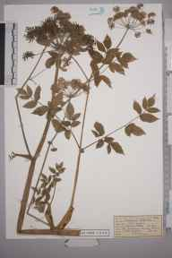 Angelica sylvestris herbarium specimen from Great Bookham Common, VC17 Surrey in 1954 by Mrs Joan Frances Hall.