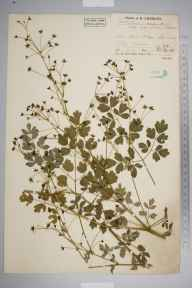 Thalictrum minus herbarium specimen from Low Wood, VC69 Westmorland in 1937 by Mr Job Edward Lousley.