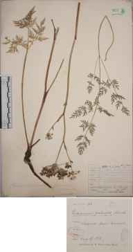Peucedanum palustre herbarium specimen from Shapwick Moor, VC6 North Somerset in 1883 by Mr James Walter White.