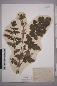 Pastinaca sativa herbarium specimen from Hayes, VC16 West Kent in 1892.