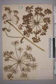 Heracleum sphondylium herbarium specimen from Cadgwith, VC1 West Cornwall in 1899 by Mr Allan Octavian Hume.