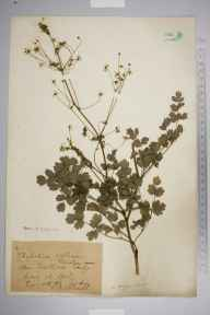 Thalictrum minus herbarium specimen from Castleton, VC57 Derbyshire in 1906 by Mr Albert Bruce Jackson.
