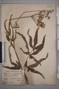 Heracleum sphondylium var. angustifolium herbarium specimen from Chorleywood, VC20 Hertfordshire in 1924 by Mr S Dark.