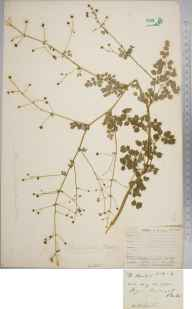 Thalictrum minus herbarium specimen from Fortingall, VC88 Mid Perthshire in 1902 by Rev William Richardson Linton.