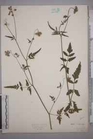 Tordylium maximum herbarium specimen from Rickmansworth, VC20 Hertfordshire in 1923 by Mr Isaac A Helsby.