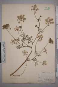 Daucus carota herbarium specimen from Whitstable, VC15 East Kent in 1904 by Mr Allan Octavian Hume.