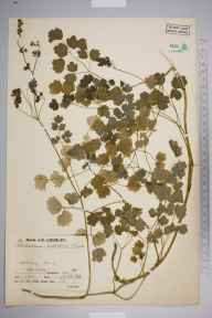 Thalictrum minus herbarium specimen from Keltney Burn, VC88 Mid Perthshire in 1936 by Mr Job Edward Lousley.