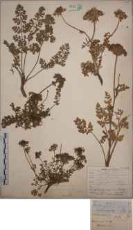 Daucus maritimus herbarium specimen from Cape Cornwall, VC1 West Cornwall in 1852 by Joseph Woods.