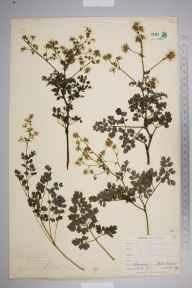 Thalictrum minus herbarium specimen from Rill Head, VC1 West Cornwall in 1899 by Mr Allan Octavian Hume.