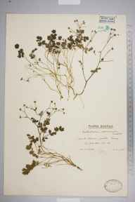 Thalictrum minus herbarium specimen from Reay, VC109 Caithness in 1946 by Mr Edward Charles Wallace.