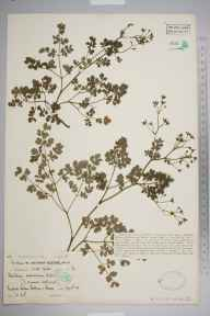 Thalictrum minus herbarium specimen from Redcar, VC62 North-east Yorkshire in 1931 by Dr William Arthur Sledge.